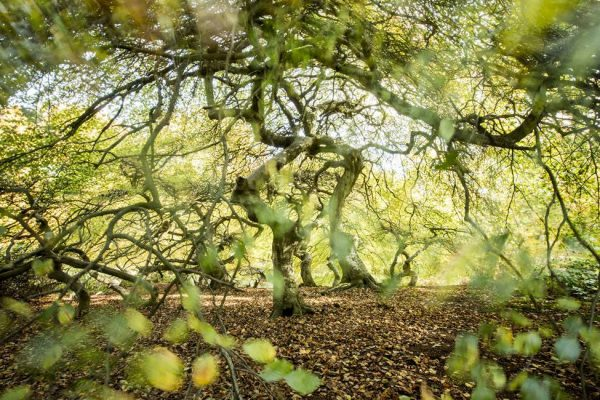 Hexenwald im Waldgebiet bei Lietzow auf Rügen